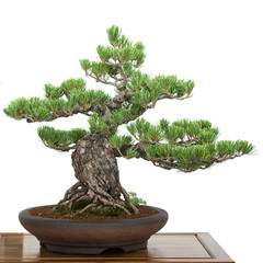 Kiefer als Bonsai Baum