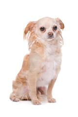 Mixed breed Chihuahua dog