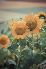 sunflower with filter effect retro vintage style