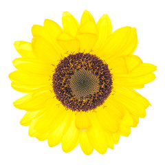Yellow flower isolated on white background. This has clipping pa