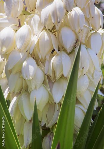 Fiori bianchi a grappolo immagini e fotografie royalty for Fiori bianchi profumati a grappolo