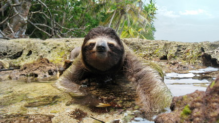 Sloth crossing puddle on ground of tropical coast