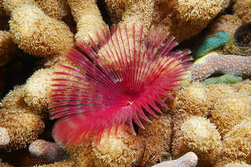 Split-crown feather duster worm and finger coral