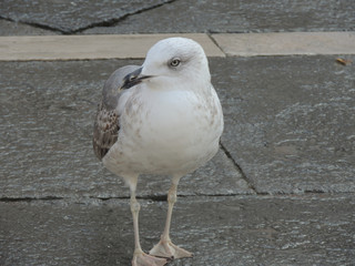 White big seagull