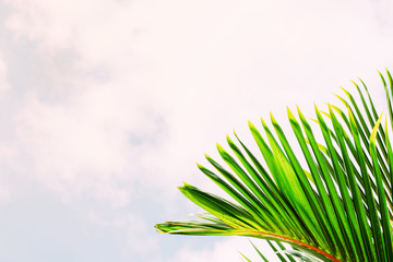 Coconut leaf isolated sky