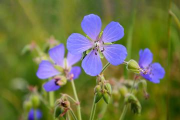 The meadow geranium ( Geranium pratense)