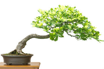 Eiche (Quercus robur) als Bonsai Baum
