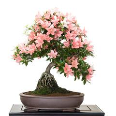 Satsuki Azalee mit Blüten als Bonsai Baum