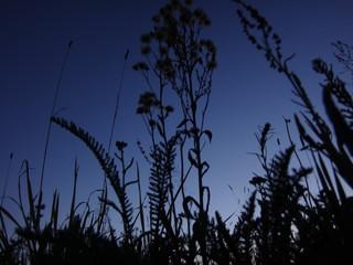 Темные силуэты растений на фоне синего неба поздним летним вечером