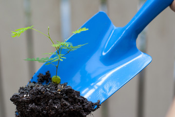 Blue trowel used to move a young plant