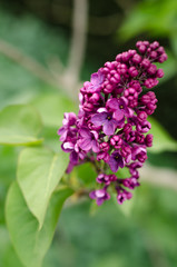 Spring blossoming lilac tree with purple flowers