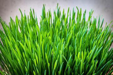 Wall Mural - Green wheatgrass