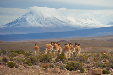 Group of vicuna (Vicugna vicugna) on the Altiplano of north east Chile in Lauca National Park. In the background is the snow capped cone of the Tacora volcano (5980 m)