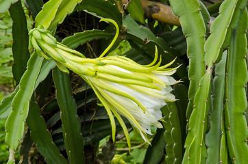 Dragon fruit flower two