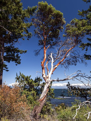 A dying Arbutus Tree (Pacific Madrona) photographed on the coast of southern British Columbia.