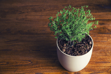 Pot with thyme on kitchen wooden table