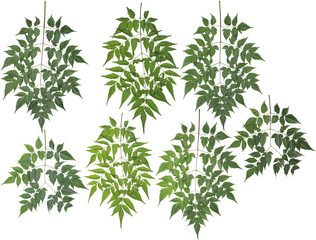 Original size of the collected Neem tree leaves macro isolated o