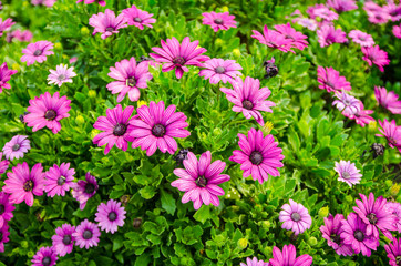 Chrysanthemum flower,closeup of purple with white Chrysanthemum flower in full bloom