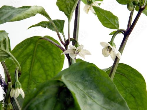 White flowers of pepper vegetable plant stock photo and royalty white flowers of pepper vegetable plant mightylinksfo
