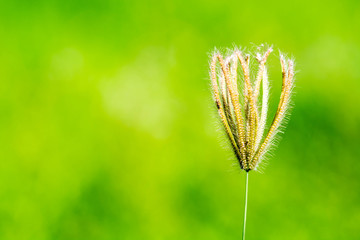 grass flower on nature green background