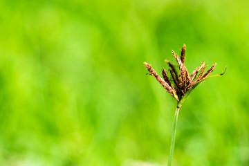 Nut grass, Purple nut sedge, Nut sadge