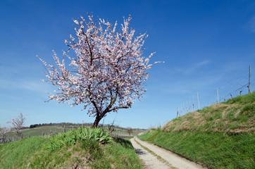 Obstblüte am Kaiserstuhl