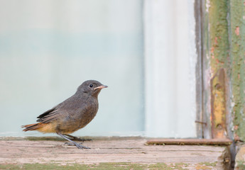 Juvenile Black Redstart On The Old Window