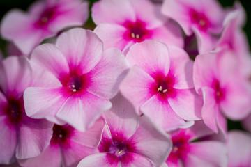 Bright pink phlox close up