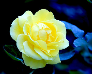 Yellow glowing garden rose