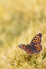 Macro of Queen of Spain Fritillari butterfly
