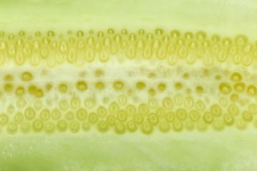 texture of freshness cucumber.