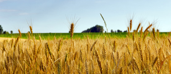 Wheat field agriculture