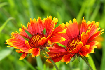 Bicolor beautiful Gaillardia flower