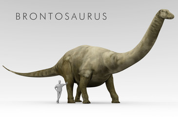 An illustration of the recently renamed dinosaur Brontosaurus (formerly known as Apatosaurus) depicted alongside an average height human. Brontosaurus was a large extinct genus of sauropod dinosaur.