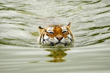 Door stickers Tiger Tijger houdt kop boven water.