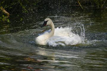 Poster Swan Zwaan spetterd in het water.