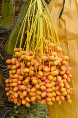 Bunch of Pink Date palm (Phoenix dactylifera)