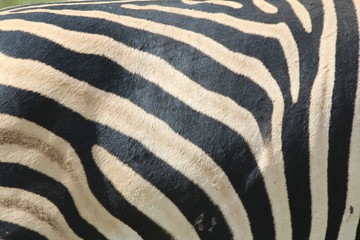 Zebra Pattern Closeup