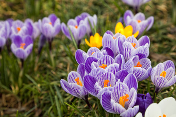Purple and White Crocus