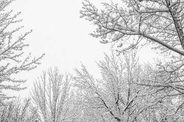Multiple snow covered trees and gray wintertime sky with copy space