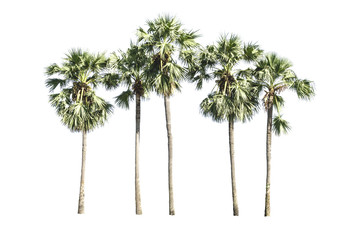 Asian Palmyra palm, Toddy palm, Sugar palm, Cambodian palm, palm
