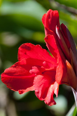 Red Canna flower
