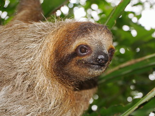 Head of young three-toed sloth in the jungle
