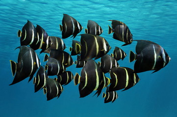 School of tropical fish French angelfish