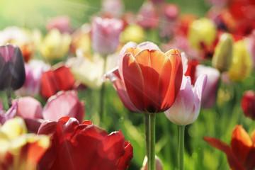 Fotoväggar - tulpen licht strahlen
