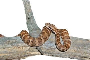 Snake (Agkistrodon saxatilis) 17