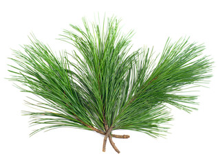 Three  coniferous  green cedar  branches on white isolated