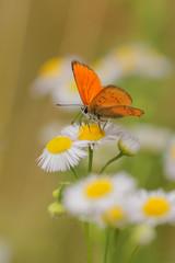 Common fleabane, Erigeron with butterfly Scarce Copper , Lycaena virgaureae