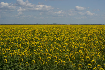 Field of sunflowers on a background of blue sky.