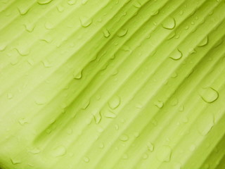Banana leaf background with raindrop
